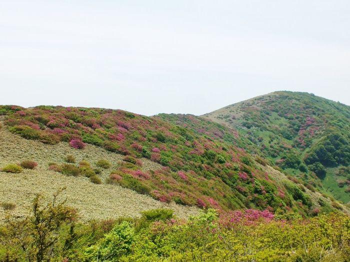 ピンクに染まる四国随一のミツバツツジ群落!愛媛・大川嶺連峰