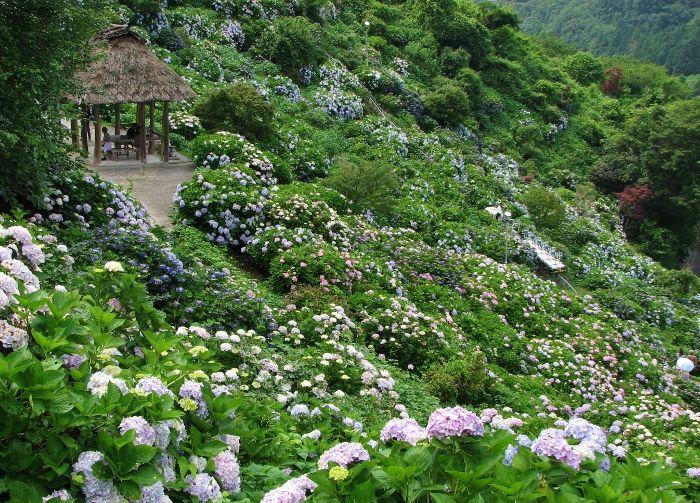 紫陽花群を走る縦横無尽の遊歩道