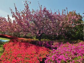 桜とツツジのコラボ!松山市有数の絶景地「松山総合公園」