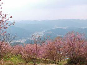 2月に桜が満開になって山がピンクに!高知・桑田山の雪割り桜