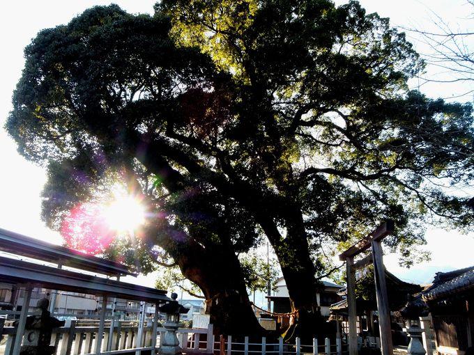 由緒ある尾鷲神社で樹齢千年の夫婦楠を参拝