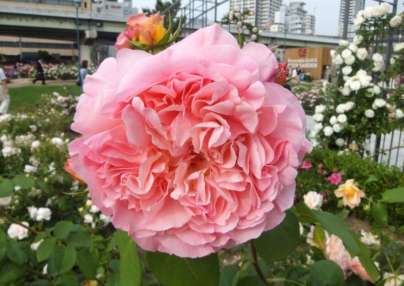 都会の中の花園!大阪・中之島バラ園で、華麗なバラの魅力にはまる