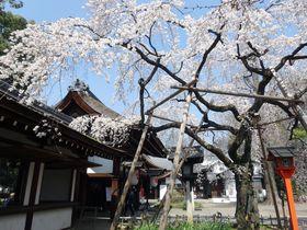 京都の早咲き枝垂れ桜のお花見スポットおすすめ5選|京都府|トラベルjp<たびねす>