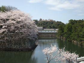 ため息が出る美しさ!彦根城夜桜とひこにゃんに会いに行こう|滋賀県|トラベルjp<たびねす>