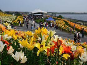 大阪湾をバックに咲き誇る250万輪のゆり!「大阪舞洲ゆり園」|大阪府|トラベルjp<たびねす>