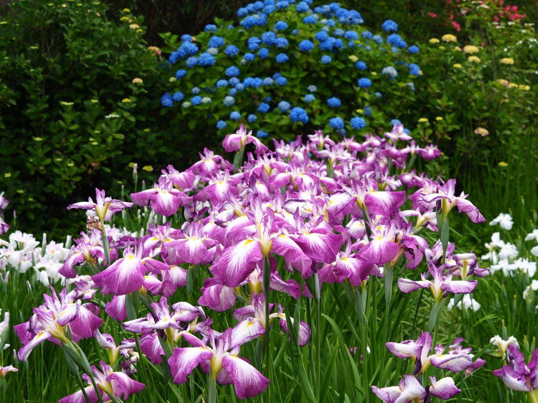 花菖蒲と紫陽花のコラボもあり