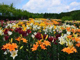 6月には10万本のユリも!兵庫・丹波篠山の城下町めぐり|兵庫県|トラベルjp<たびねす>