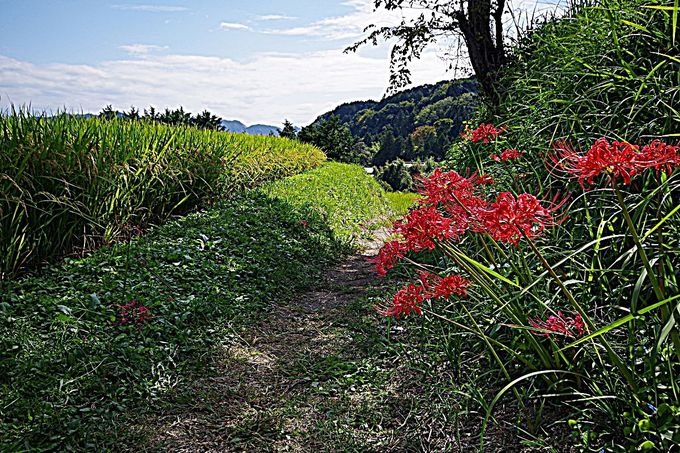 葛城古道に咲き誇る彼岸花