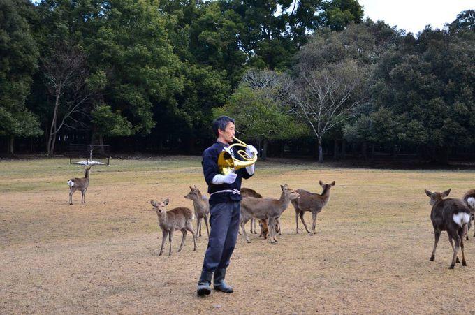 「鹿寄せ」の始まりは明治時代から