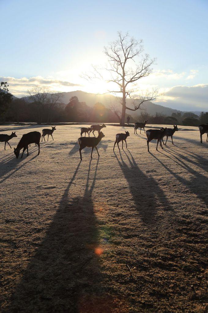 早朝の飛火野で、鹿たちのパフォーマンスに癒されよう