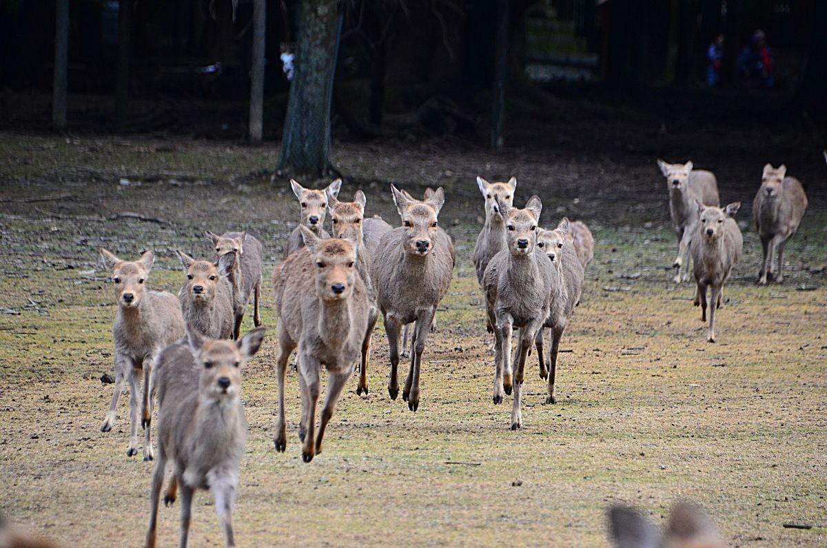 鹿たちの怒涛の走りに刮目