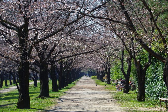 大阪府・南海沿線有数のサクラの名所「浜寺公園」でうららかな春を満喫!