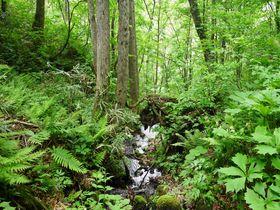 夏バテのあなたに!白神山地「世界遺産の径 ブナ林散策道」は夏もひんやり|青森県|トラベルjp<たびねす>