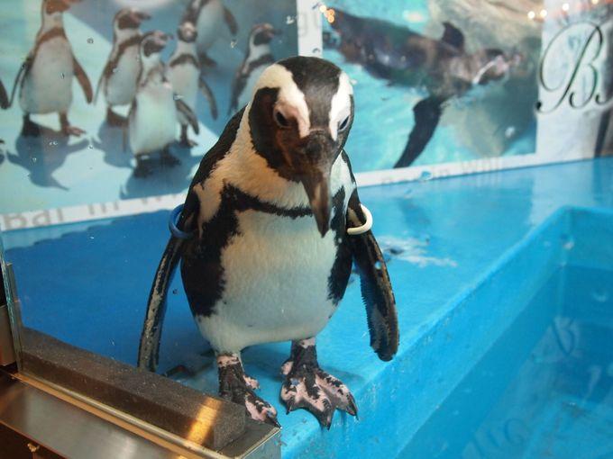 本物のペンギンがいた!