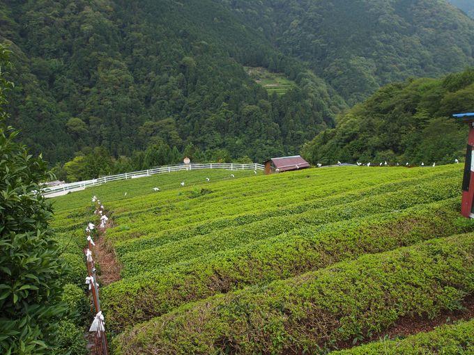 """寒暖の差があり霧が多い雲上で育てられる""""無農薬茶葉"""""""