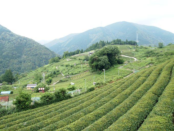 そこはまさに「天空の茶畑」!