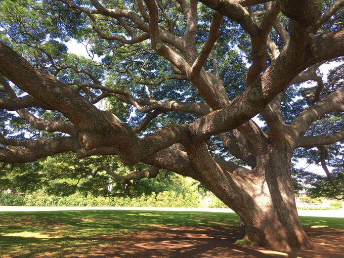 あの歌で有名になった木はハワイに!?「モアナルア・ガーデン」