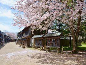 花見×古民家体験が楽しい!千葉県立房総のむら「さくらまつり」