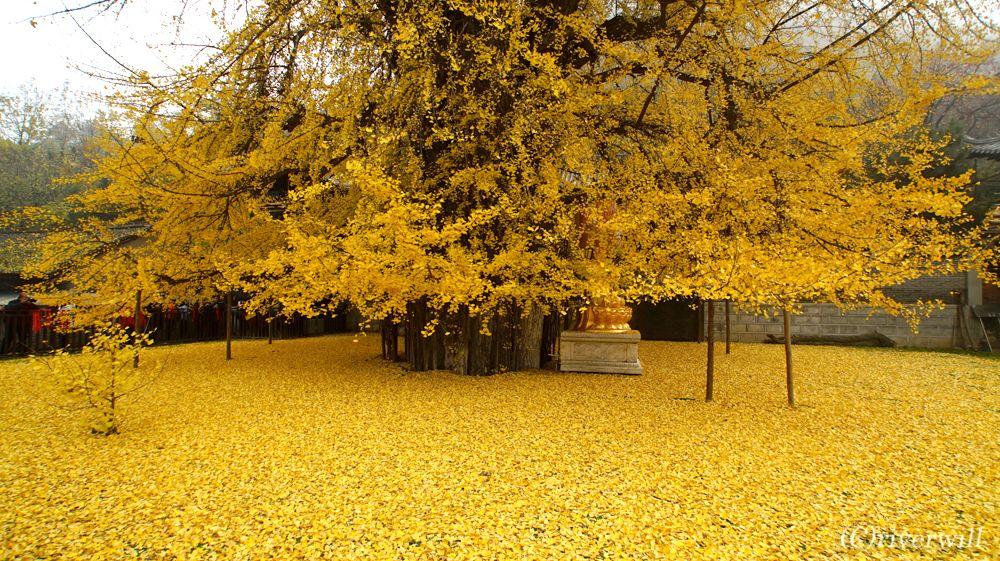 千年銀杏(イチョウ)樹とは
