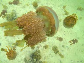 フィリピン秘島でジェリーフィッシュサンクチュアリ!刺さないクラゲに癒される