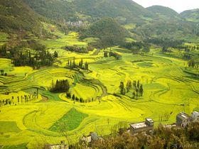 まるで絵画の世界!見渡す限り黄色のじゅうたん・雲南省羅平の菜の花畑