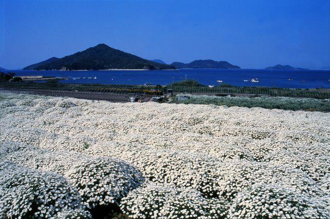日本一の産地でマーガレット鑑賞!「フラワーパーク浦島」